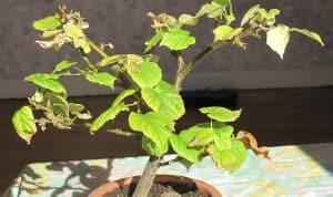 Bonsai diseases