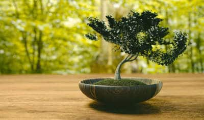 What to feed a bonsai tree